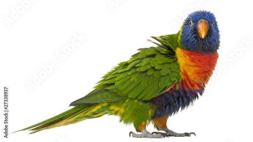 Fond de hotte en verre imprimé Perroquets Rainbow Lorikeet, Trichoglossus haematodus, 3 years old