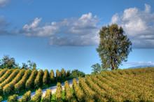 Vineyard In Franciacorta Before Sunset
