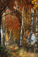 Fototapeta Drzewa Birch Alley in Autumn