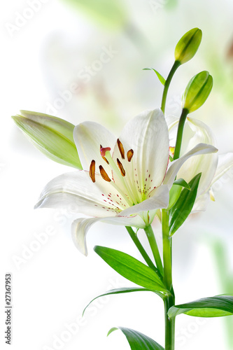 Fotografie, Obraz  Beautiful lily flowers, isolated on white
