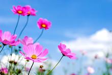 ピンクのコスモスの花...