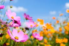 コスモスのお花畑と空