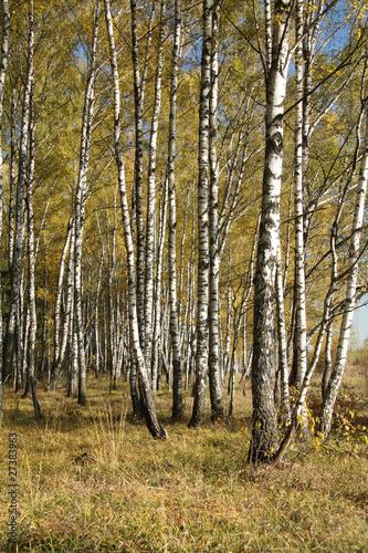 Spoed Fotobehang Berkbosje Autumnal forest
