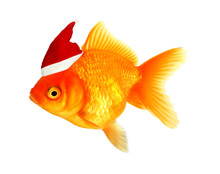 GOlden Fish With Santa Hat, Is...