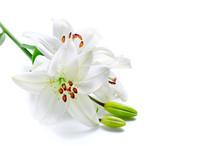 Beautiful Lily Flowers, Isolat...