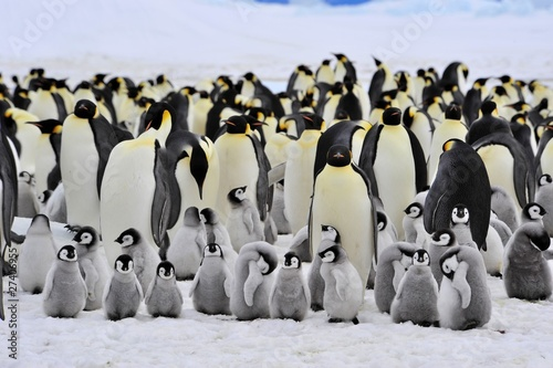 Photo Stands Antarctic Emperor Penguin