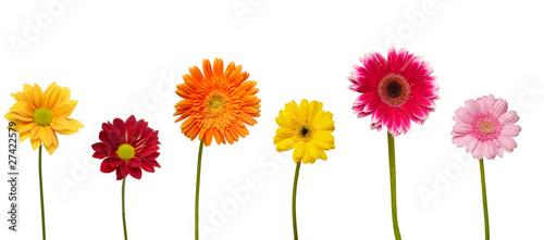 Poster Gerbera flower nature garden botany daisy bloom