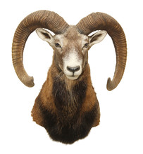 Moufflon (Ovis Musimon) Hunting Trophy With Big Horn Isolated