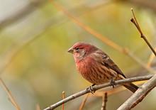 Male House Finch, Carpodacus M...