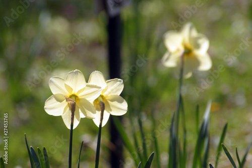 Recess Fitting Narcissus A couple of daffodils