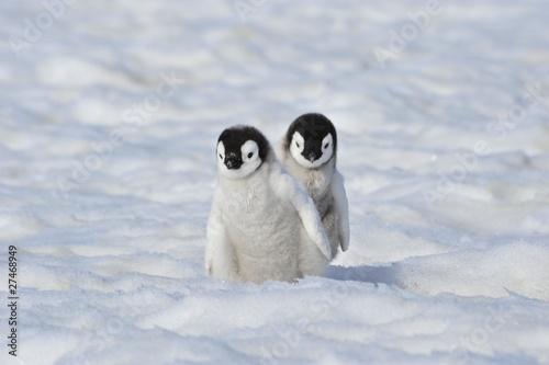 Photo Stands Antarctic Emperor Penguin
