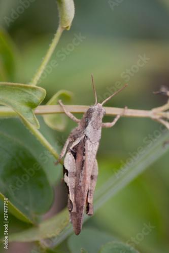 Poster Nature grasshopper