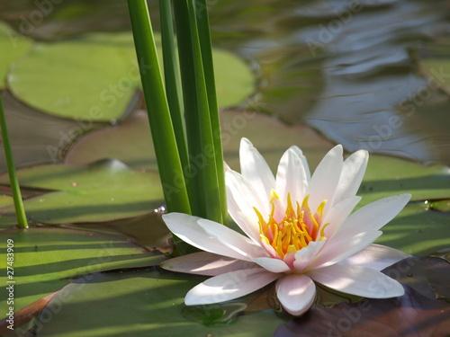 Garden Poster Lotus flower nenuphar