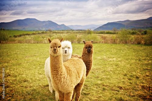 Foto auf Leinwand Lama Alpaca in a field