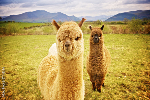 Deurstickers Lama Alpaca in a field
