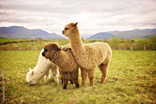 Recess Fitting Lama Alpaca in a field