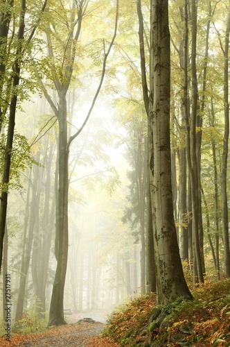 Foto auf Acrylglas Wald im Nebel Mountain trail through the misty beech forest