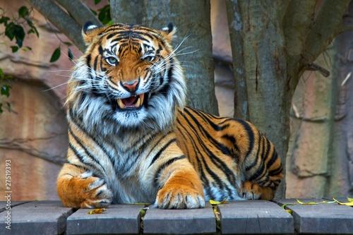 Obraz na plátne Bengal Tiger