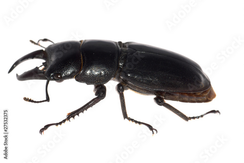 stag beetle isolated Poster
