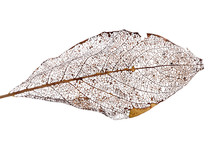 Brown Dead Leaf On White