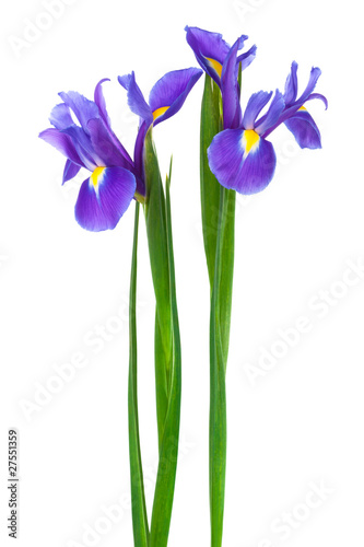 Deurstickers Iris two purple iris