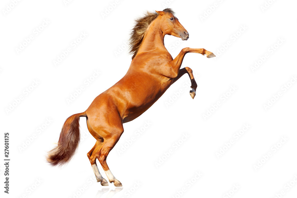 Fototapety, obrazy: horse isolated