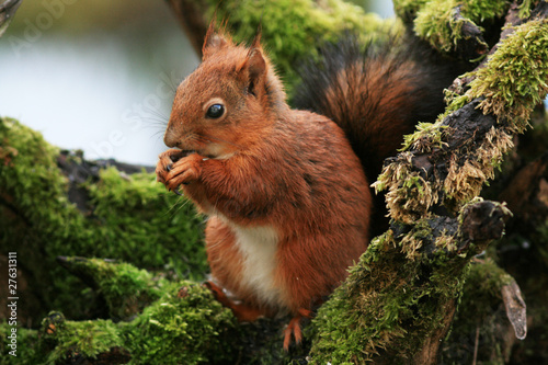 Foto op Canvas Eekhoorn Écureuil roux (red squirrel)