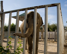 Elephant Behind The Cage Tryin...