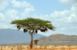 canvas print picture - Baum in Afrika