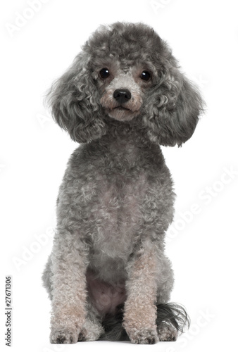 Tableau sur Toile Poodle, 4 years old, sitting in front of white background