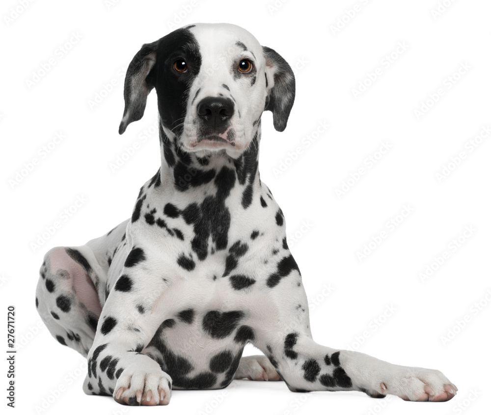 Fototapeta Dalmatian, 2 years old, lying in front of white background