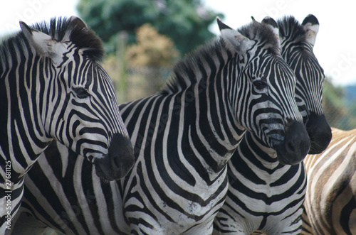 Wall Murals Zebra Zebra Group