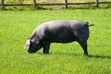 Rare Breed Cornish Black Pig W...