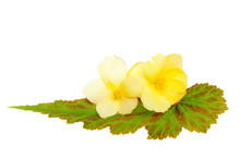Two Begonia Flowers