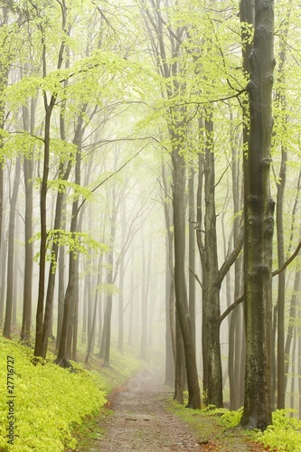 Foto auf Acrylglas Wald im Nebel Mountain trail in misty spring forest during rainfall
