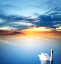 Swan And Golden Sunset