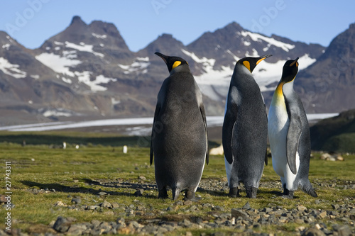 Three King Penguins on Salisbury Plain, South Georgia