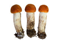 Orange Birch Boletus