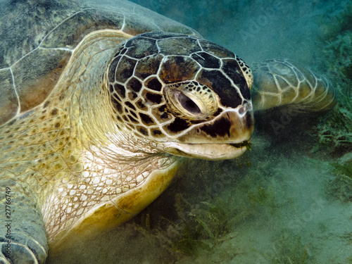 Canvas Prints Under water Green sea turtle feeding on seagrass bed