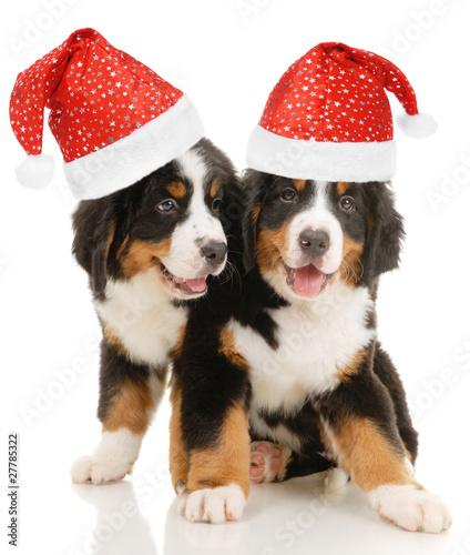 Keuken foto achterwand Kat Two bernese sennenhund puppies with christmas decorations