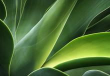 Kaktusblätter