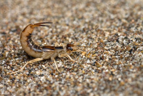 Fotografie, Obraz  The earwig