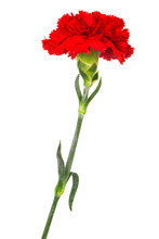 Red Carnation Close-up