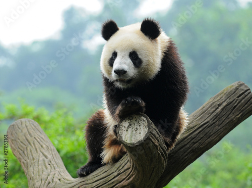Aluminium Prints Panda Giant panda bear in tree