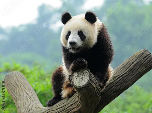 Stickers pour portes Panda Giant panda bear in tree