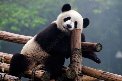 Cute giant panda bear Canvas Print