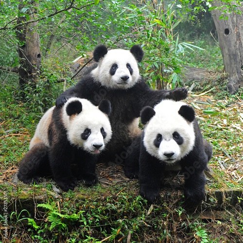 Giant panda bear posing for camera Canvas Print