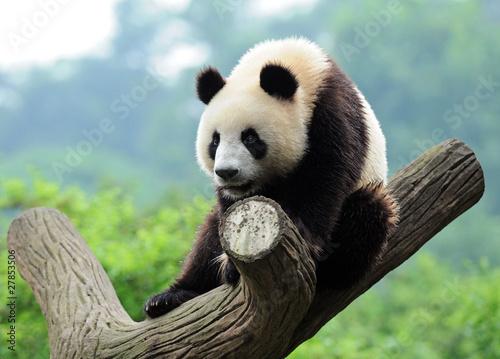 Stickers pour porte Panda Giant panda climbing tree
