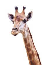 Female Giraffe Head And Neck I...