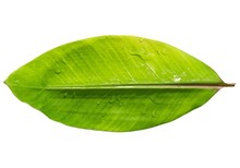 Banana Leaf With Water Drops Isolated